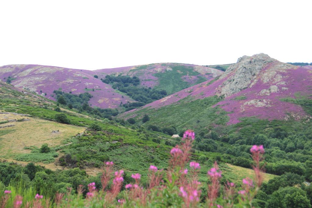bruyère-violette
