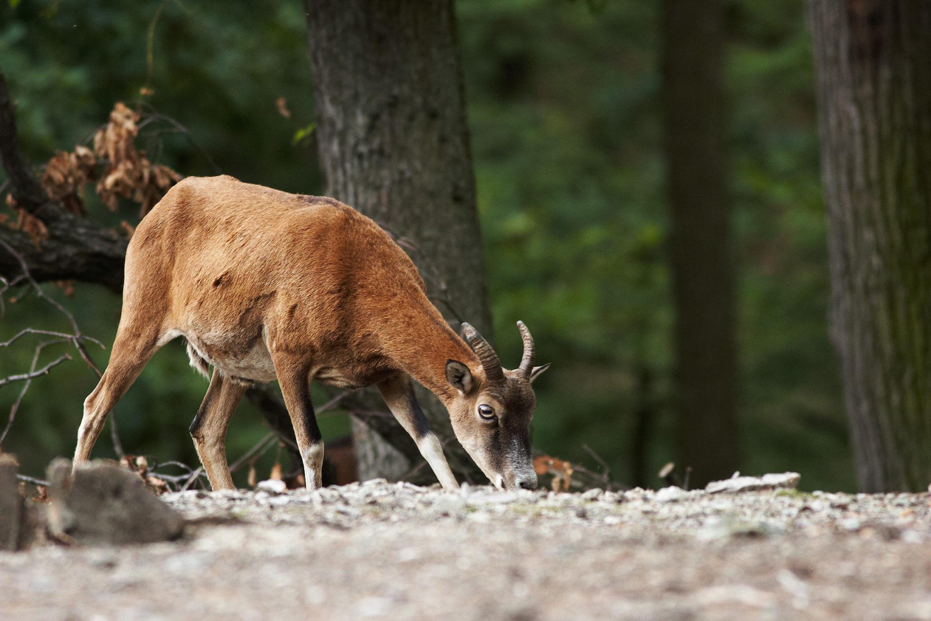 mouflon-caroux